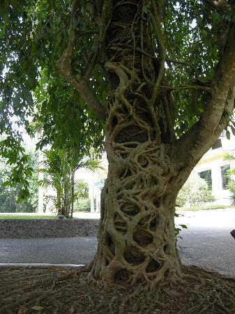 Sipsongpanna Botanical Garden, Chinese Academy of Sciences : 这种现象叫绞杀