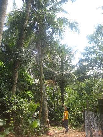 Hainan, China: 摘椰子