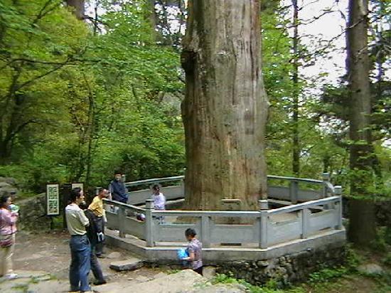 "West Tianmu Mountain: 乾隆皇帝御敕的""大树王"",直径近2米,10个人左右才能抱过来"