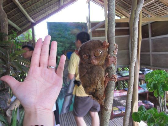 Filipina: 那边有名的大眼猴