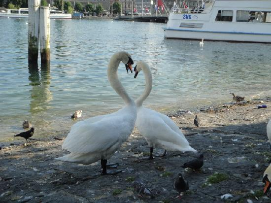 Lucerna, Svizzera: 琉森湖边的一对天鹅