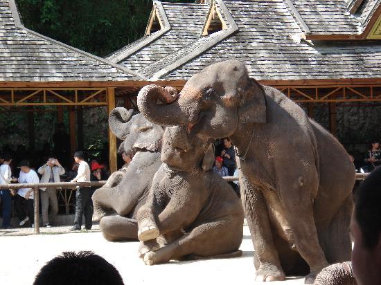 Monkey Mountain, Sipsongpanna: 零距离看大象表演
