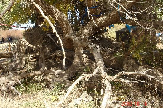 Sacred Tree: DSC08549