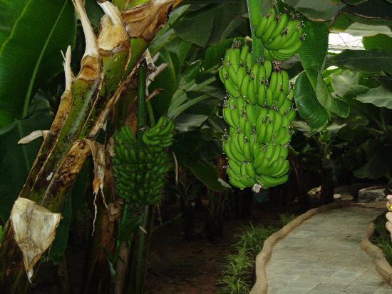 Junzi Ecological Park: 热带的水果香蕉也能在新疆长成这样挺不错