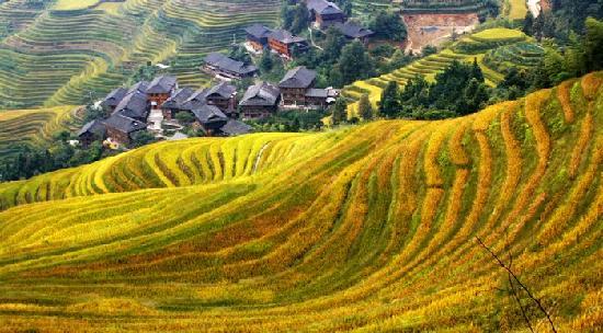 Longji Ameng Inn: 龙脊阿蒙家提供龙脊梯田国庆金秋照片