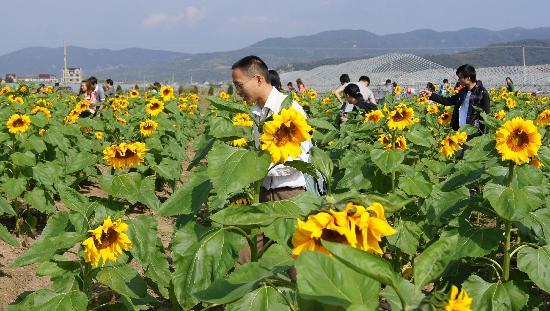 Jocund Farm: 赏向日葵