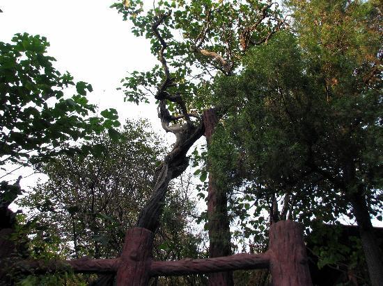 Tang Li Temple: 500年文冠树