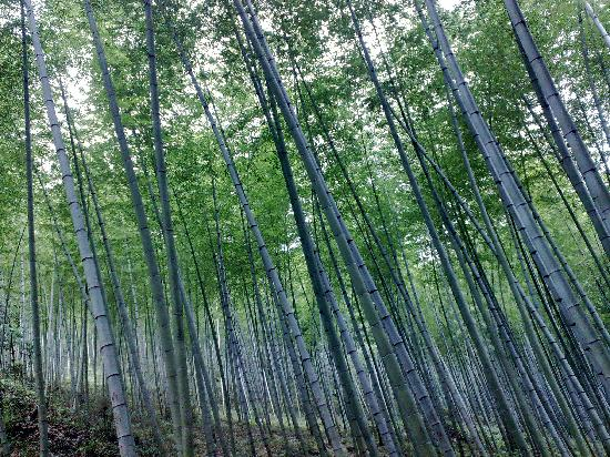 Yixing, Kina: 清新的竹林
