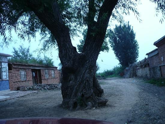 Lingyuan, China: 凌源杨大营子的古槐