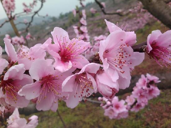 Taohua Scenic Resort: hua kai de bu cuo