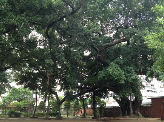Kaiyuansi : 看得出寺庙年纪的大榕树(?)