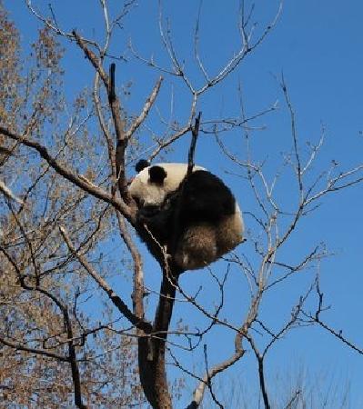 Beijing Zoo: 熊猫