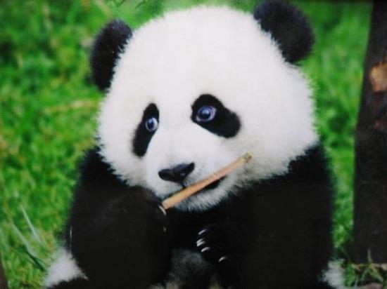 Bifengxia Panda Reserve : 熊猫