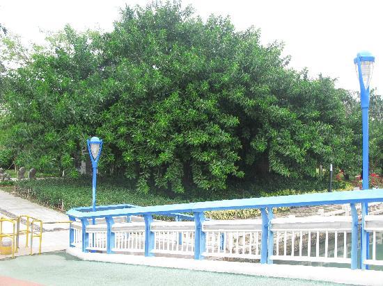 Xiamen Bailuzhou Park: 我拍的是这可很大体量的树,请细看。