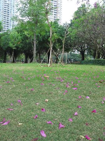 Xiamen Bailuzhou Park: 一场雨后,紫荆花落了满地。