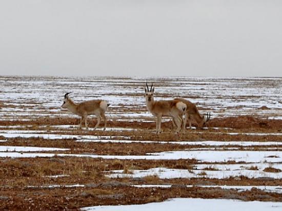 Qumarleb County, China: 可可西里保护区路边的藏羚羊