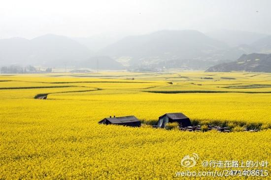 Jinji Peak : 茂盛的油菜花…
