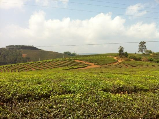 Kunming Tea Plantation