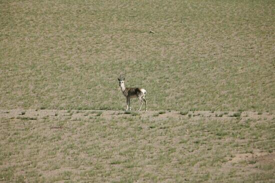 Nagqu County, Trung Quốc: 那曲高寒草原上的原羊