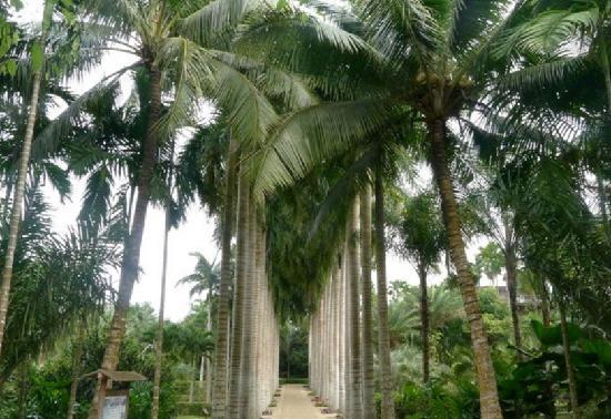 Xinglong Tropical Botanical Garden:                   兴隆热带植物园的导弹树