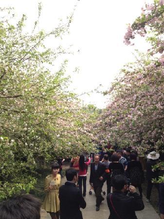 Nanshan Botanical Garden: 樱花大道