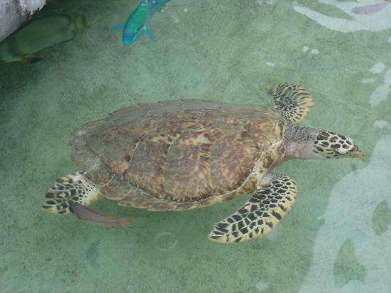 Palasia Hotel Palau: 酒店水池里的乌龟