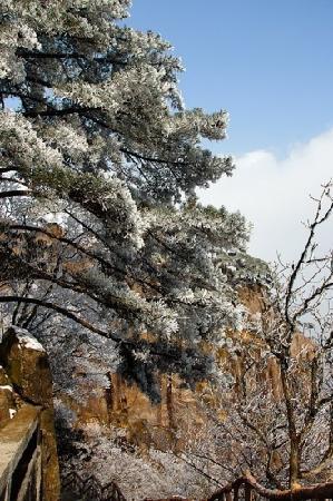 Mt. Huangshan (Yellow Mountain): 黄山雪松