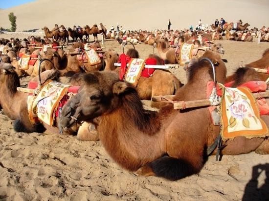 Mingsha Shan (Echo Sand Mountain) Park, Dunhuang, China: 鸣沙山上的骆驼队