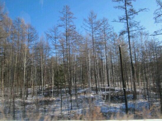 Beijicun Forest Park : 桦树林
