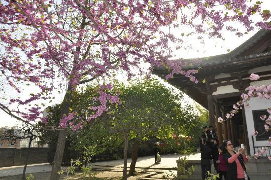 Qing Long Si: 樱花
