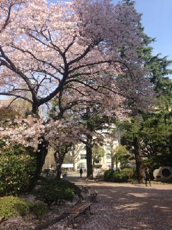 Aoyama Street: Sakura