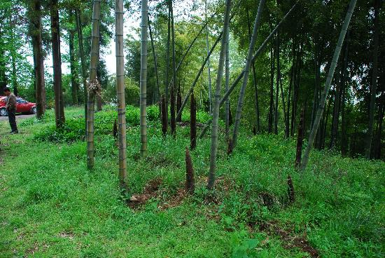 Moganshan Shambhala Residential Retreat: 后院竹林