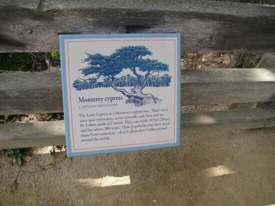 Oregon's Largest Monterey Cypress : 柏树