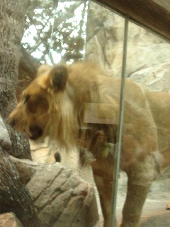 The Lion King : lion