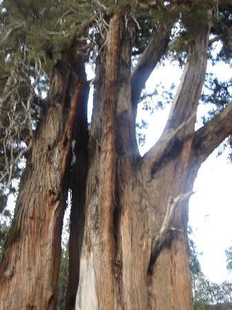 Giant Cypress Nature Reserve of Bajie, Nyingchi: 柏树