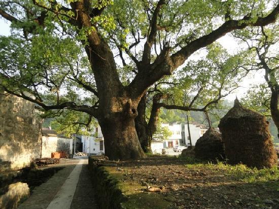 Yaoli Old Village: gushu