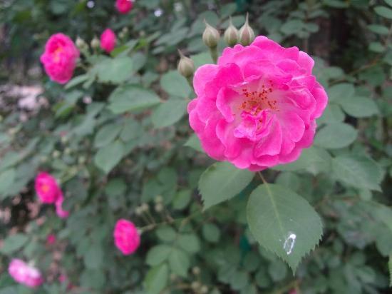 Yantai Da Nanshan Park: 月季粉