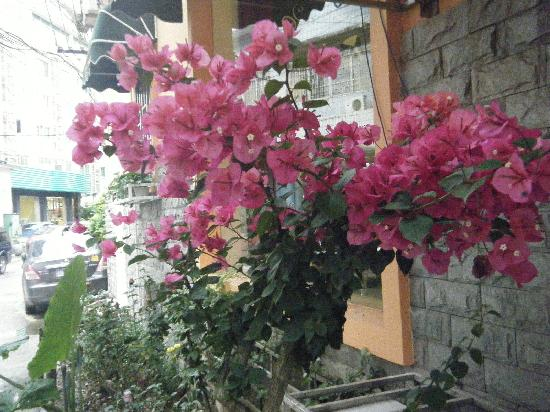 Manshiguang Inn: 三角梅