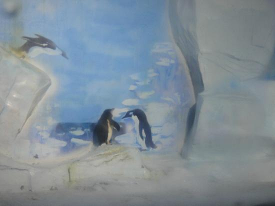 Tianjin Haichang Polar Ocean World : 其实你们都不知道,这只企鹅一直对着墙上的假企鹅发呆,一直!
