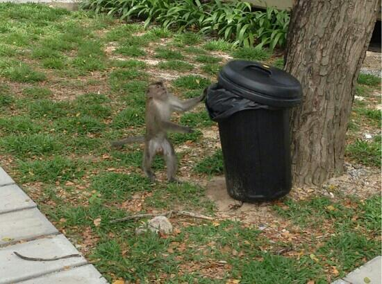 Coral Redang Island Resort: 屋前的猴哥沦落到扒垃圾桶的地步了