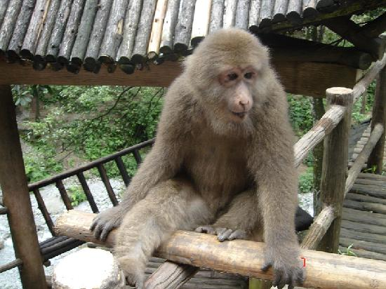 Mt. Emei Natural Ecology Monkey Reserve : 猴子