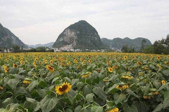 Sunflower Garden: 百万葵园