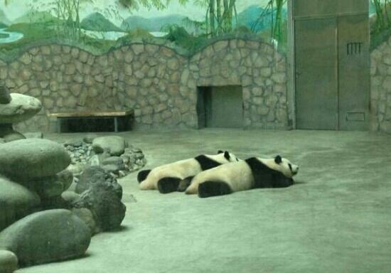 Chengdu Zoo: 熊猫