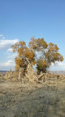 Original Populus Euphratica