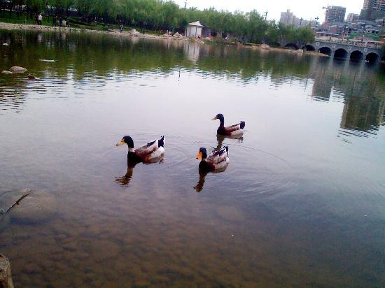 Xi'an Qujiangchi Site Park: 野鸭