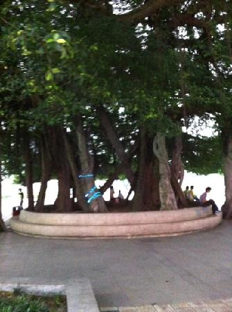 Beibuwan Square: 广场的标志性大树