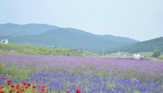 Shenyang Purple Vapor Lavender Manor : 紫烟薰衣草庄园