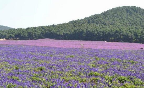 Shenyang Purple Vapor Lavender Manor : 薰衣草庄园