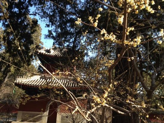 Temple of the Sleeping Buddha (Wofosi) : 腊梅