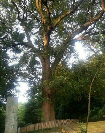 Xiaoqi Village : 晓起很有名的千年樟树!